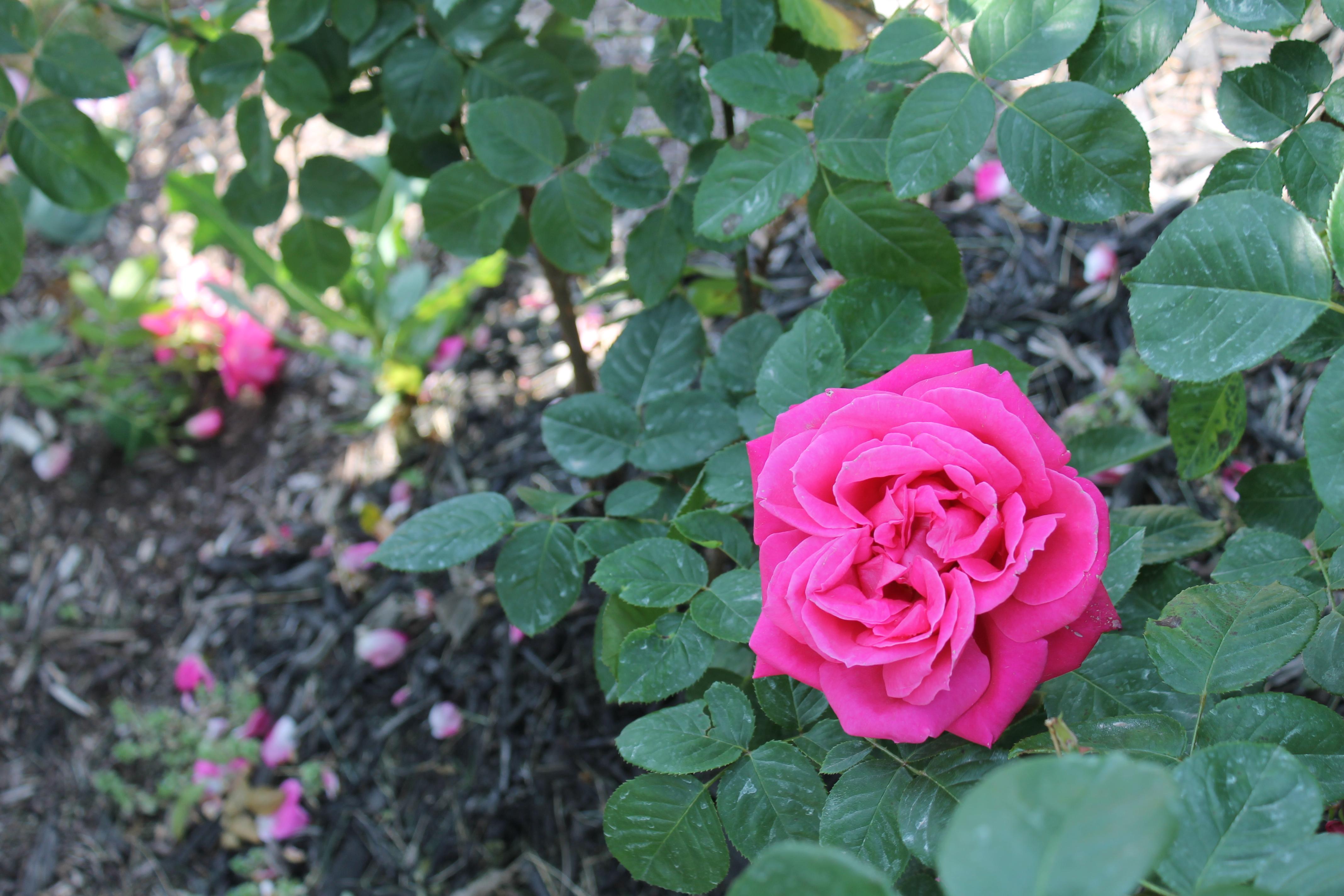 Loose Park Rose Garden Beauties